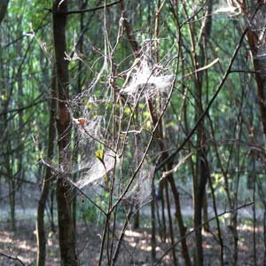 Cobwebs in the woods