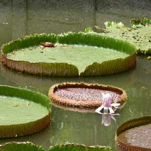 Giant lily pads in Saranrom Park