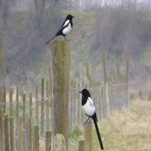 Two magpies on a fence in the countryside